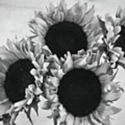 Bw Sunflowers #010 Art Print