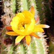 Cactus Bloom 033114e Art Print