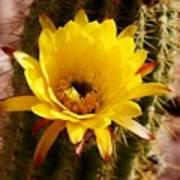 Cactus Bloom Yellow 050914a Art Print