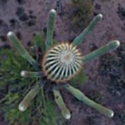 Cactus, Saguaro Long Armed Art Print