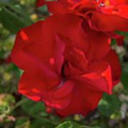 Caecilla's Rose Garden Art Print