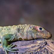 Caiman Lizard Art Print