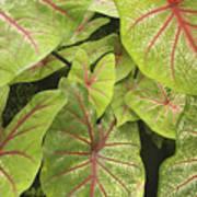 Caladium Leaves Art Print