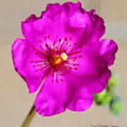 Calandrinia Flower Art Print