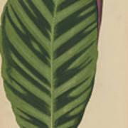 Calathea Zebrina, Maranta Zebrina Art Print