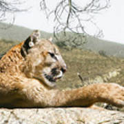 California Cougar Art Print