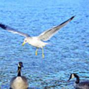 California Gull - Canada Geese Art Print