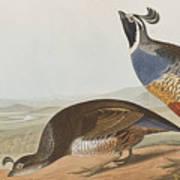 California Partridge Art Print