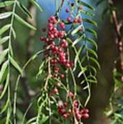 California Pepper Tree Leaves Berries I Art Print