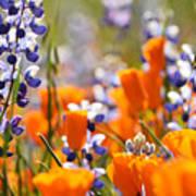 California Poppies And Lupine Art Print
