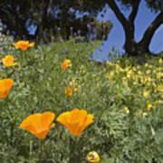 California Poppy Eschscholtzia Art Print