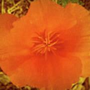 California Poppy Glow Art Print