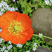 California Poppy Rock Garden Art Print