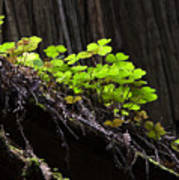 California Redwoods 4 Art Print