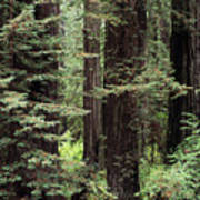 California Redwoods Art Print