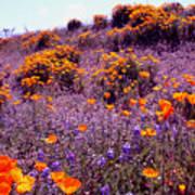 California State Flower Study Art Print