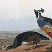 Californian Partridge Art Print