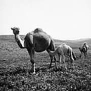 Camel And Young Art Print