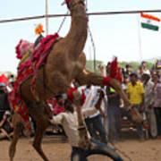Camel Dance Pushkar Art Print