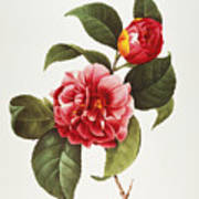Camellia, 1833 Art Print