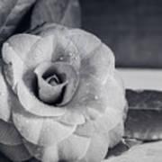 Camellia Back And White Art Print