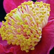 Camellia Centre Art Print