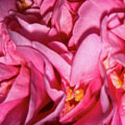Camellia Close Art Print