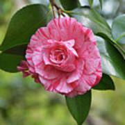 Camellia Hybrid Art Print