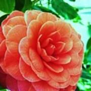 Camellia Art Print
