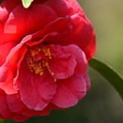 Camellia Rosette Art Print