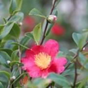 Camellia Sasanqua Yuletide Art Print