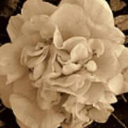 Camellia Sepia Art Print