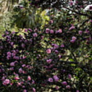 Camellia Tree Art Print