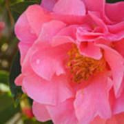 Camellias Of The South Art Print
