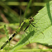 Cameo Green Dragonfly Art Print