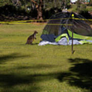 Camping With Swamp Wallaby Art Print