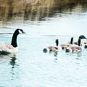Canada Geese Family Art Print