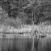 Canada Goose Couple Bw Art Print