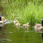 Canada Goose Family 2 Art Print