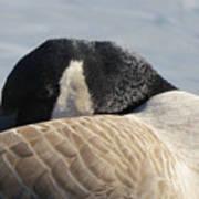 Canada Goose Head Art Print