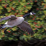 Canada Goose Landing Art Print