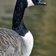 Canada Goose Portrait Art Print