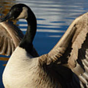 Canada Goose Spreading The Wings Art Print