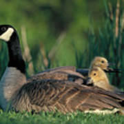 Canada Goose With Goslings Art Print by Alan and Sandy Carey and Photo Researchers
