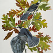 Canada Jay Art Print by John James Audubon