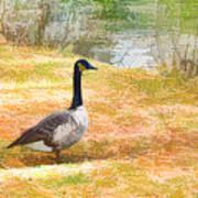 Canadian Geese 6 Art Print