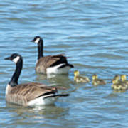 Canadian Geese Family Vacation Art Print