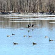 Canadian Geese In Flight Art Print