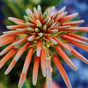 Candelobra Aloe In San Diego Art Print