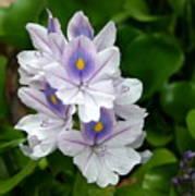 Candlelight Water Hyacinth Bloom Art Print
